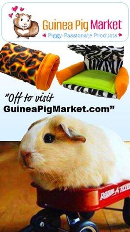 Explore the Guinea Pig Market